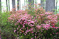 full blooming azalea in pink