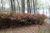 budding row of azaleas