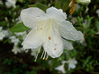 rain on a white azalea bloom