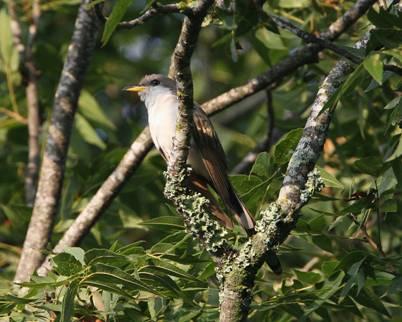 Pregunta: ¿Cómo cantan los pájaros cantores? | Universidad Estatal de Penn