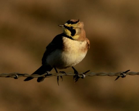 Fauna - pájaros de la canción (niños)